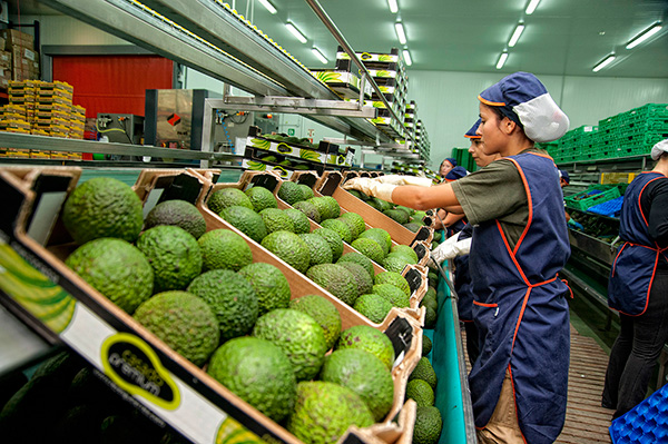 Exportación e importación aguacate y mango