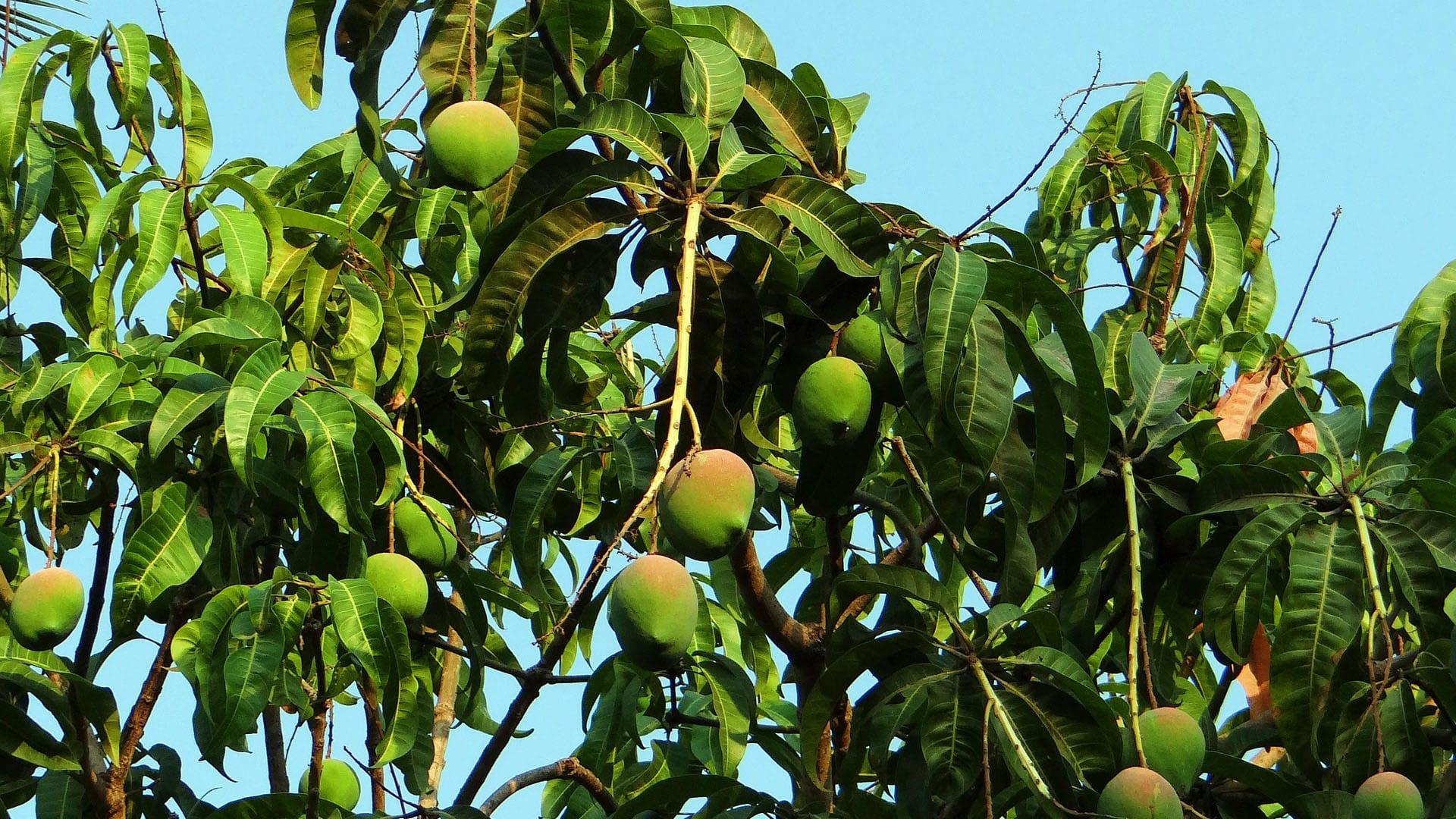 árbol Aguacate Reyes Gutierrez